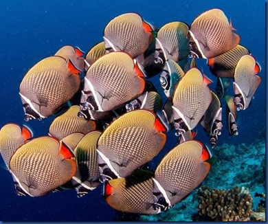 Fish School - Head Band Butterfly Fish