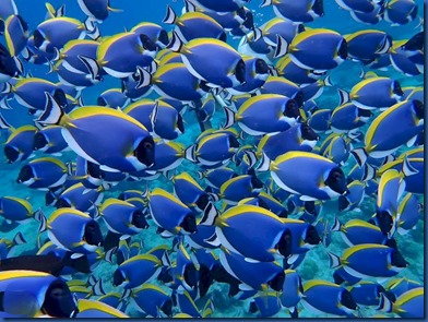 Fish School - blue tang