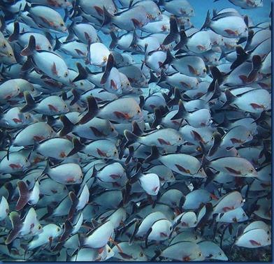 Fish School - humpback snapper