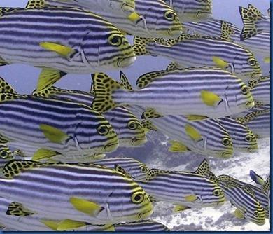 Fish School - oriental sweet lips