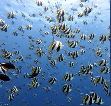 Fish Schools - Sergeant Major Fish