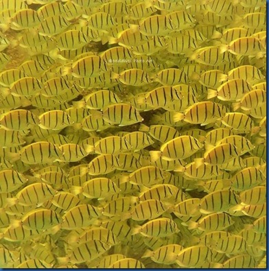 Fish Schools - convict tangs