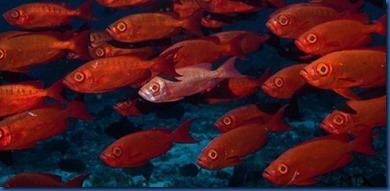 Fish schools - big eye
