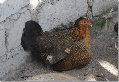 Chaaya Reef Ellaidhoo hen with chicks