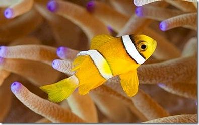 Clarks Anemonefish juvenile