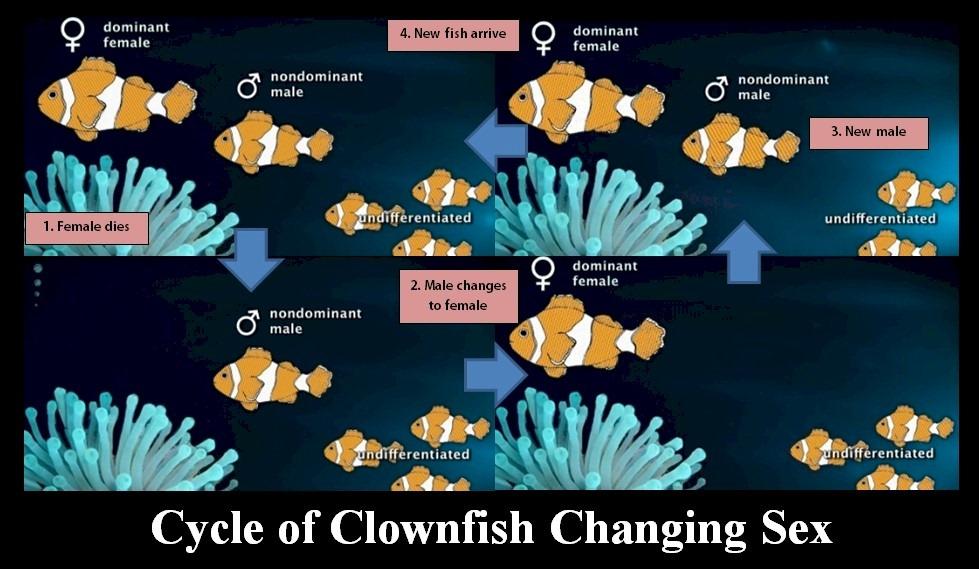 anemonefish   Taa >.@
