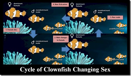 Cycle of Clownfish Changing Sex