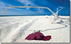 Dead rose on Maldives beach