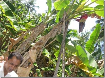Hudhuranfushi Bananas 2