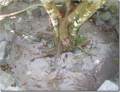 Hudhuranfushi Num Num Tree