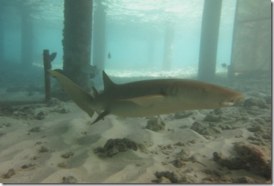 Huvafenfushi - Nurse Shark 2