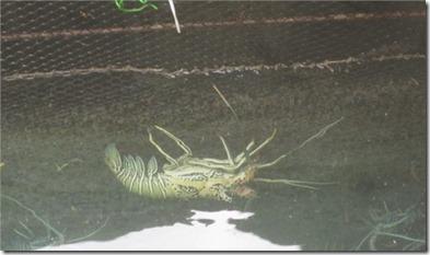 Kandooma lobsters