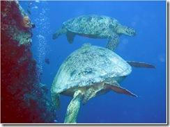 Kuredu Turtles