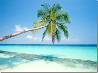 Maldives palm tree