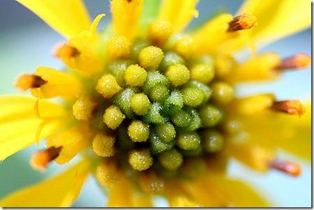 Mirihi flower 2