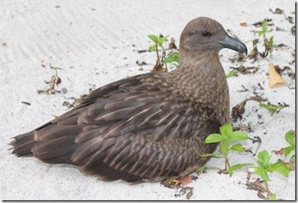 Nika albatross