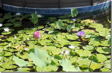 Nika spa water lillies