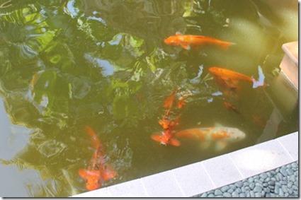 Sun Island gold fish