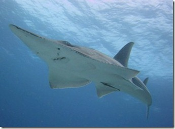 W Retreat guitar sharks