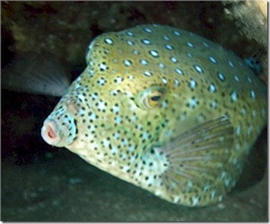 Yellow Boxfish mature