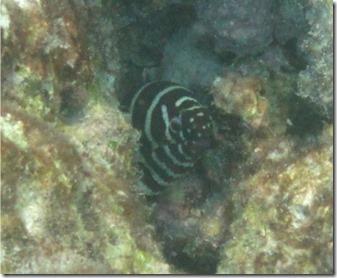 Zebra eel - Kurumba