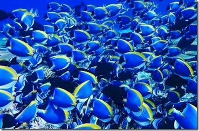 Maldives blue surgeonfish tapestry