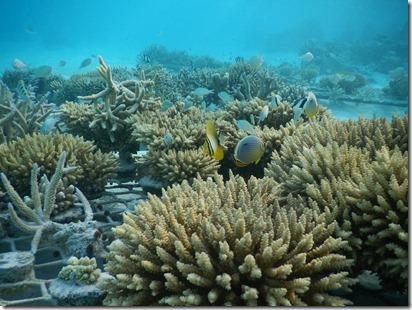 Shangri-La Villingili - reefscaping 7