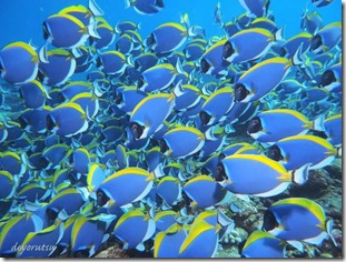 Fish school - Blue Surgeonfish