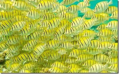 Fish school - Convict Tangs