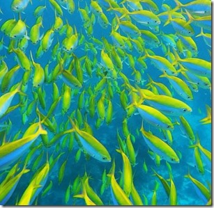 Fish school - Fusilier