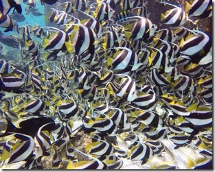 Fish school - Moorish Idol