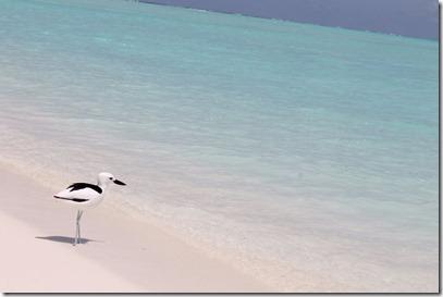 Rihiveli Beach - crab plover beach