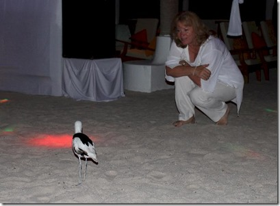 Rihiveli Beach - crab plover disco 1