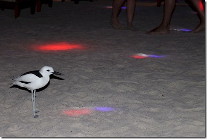 Rihiveli Beach - crab plover disco 2