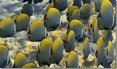 Fish Schools - Head-Band Butterfly Fish