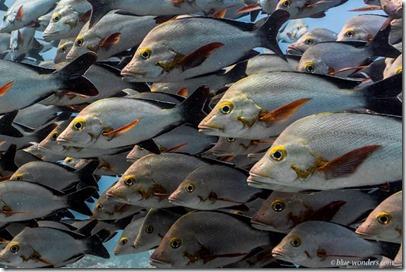 Fish Schools - Snapper