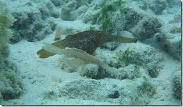 Hideaway Beach - ghost pipe fish
