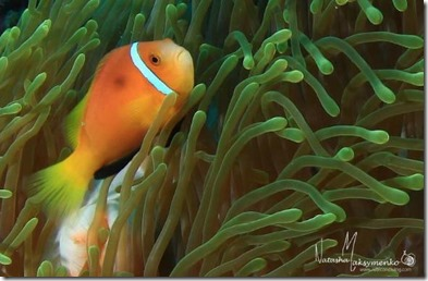 Maldives Clown Fish 4