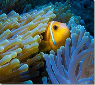 Maldives Clown Fish 9