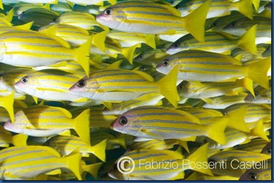 Yellow Striped Snapper 3