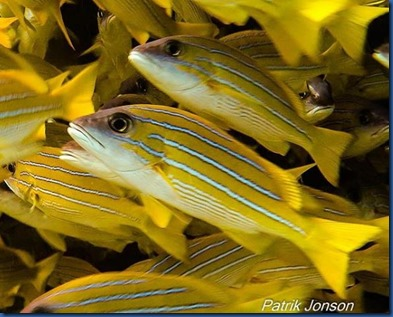 Yellow Striped Snapper 5