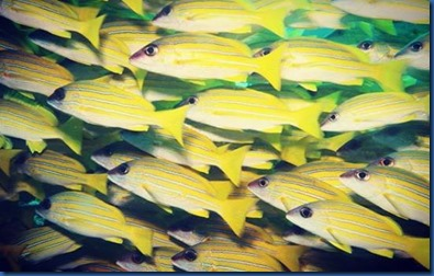 Yellow Striped Snapper 6