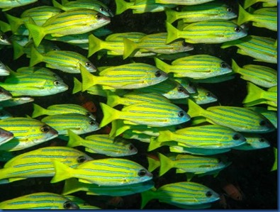Yellow Striped Snapper 8