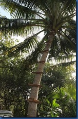 Soneva Fushi - palm wine harvesting