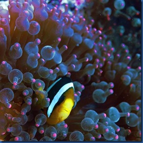 Clown fish 14