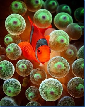 Clown fish 16