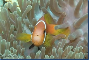 Clown fish 21