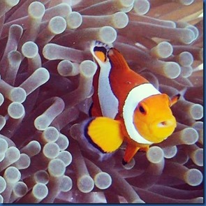 Clown fish 23