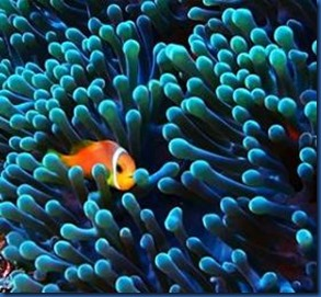Clown fish 24