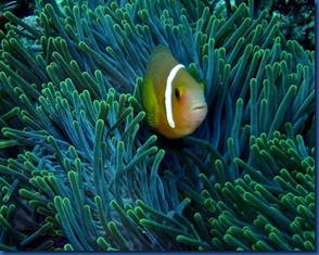 Clown fish 25